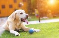 Dog playing outside in the garden with a little blue ball Royalty Free Stock Photography