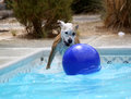 Dog playing in the pool with her ball a on steps of Stock Photos