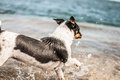 Dog playing in the sea a small sized happy shore Royalty Free Stock Photos