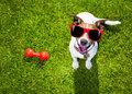 Dog playing with toy or bone Royalty Free Stock Photo