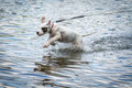Dog playing in the water lake poland dogo argentino Stock Photography