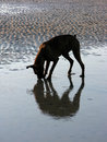 Dog playing on wet sandy beach Stock Image