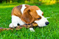 Dog plays with a stick Royalty Free Stock Photos