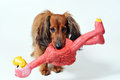 Dog with playtoy Royalty Free Stock Photography