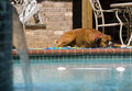Dog by Pool Royalty Free Stock Photography