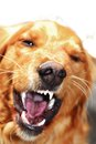 Dog portrait angry orange golden retriever baring his teeth Royalty Free Stock Images