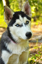 Dog portrait husky puppy of a in a forest Royalty Free Stock Photography
