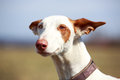 Dog portrait ibizan hound head Stock Photos
