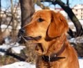 Dog portrait orange young golden retriever in winter Stock Image
