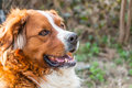 Dog portrait of a saint bernard Stock Photography
