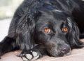 Dog portrait waiting for walk black with orange tan eyes Royalty Free Stock Image