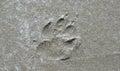 Dog print in sand on beach near Tofino Royalty Free Stock Photo