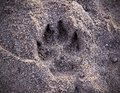 Dog print in the sand Royalty Free Stock Photo