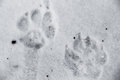 Dog prints in snow paw of a walking the Royalty Free Stock Image
