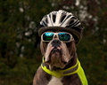 Dog is protected in traffic with sunglasses bike helmet and reflective vest old english bulldog Stock Image