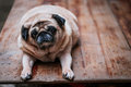 Dog Pug Looking Into Camera Royalty Free Stock Photo