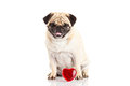 Dog pugdog und heart isolated on white background