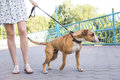Dog pulling on a leash Royalty Free Stock Photo