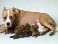 Dog with puppies Stock Images