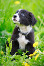 Dog puppy border collies black on nature Royalty Free Stock Images