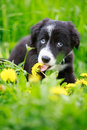 Dog puppy border collies black on nature Stock Images