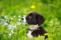 Dog puppy border collies black on nature Stock Image