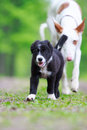 Dog puppy border collies black on nature Stock Photo