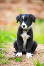 Dog puppy border collies black on nature Stock Photography