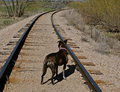 Dog on railroad tracks standing in the middle of a track Royalty Free Stock Photography