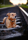 Dog on rails grieving the lost sad not purebred the large not purebred mongrel and railroad Royalty Free Stock Photography
