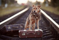 Dog on rails with suitcases the looks for the house the waits for the owner the lost mongrel the road Stock Photography