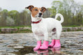 Dog in the rain wearing pink rubber boots inside a puddle Stock Image
