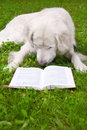 Dog reading a book Royalty Free Stock Photography