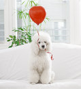 Dog with a red balloon white in the shape of heart Stock Image