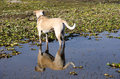 Dog and reflection in mud with in water by lake chapala Stock Photography