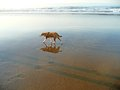 Dog with reflections walking on the beach in the afternoon Stock Images