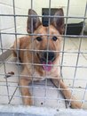 Dog at a rescue shelter sat in a kennel Royalty Free Stock Photo