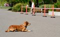 Dog rest in the asphalt show Royalty Free Stock Image