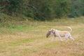 Dog retrieving pheasant Royalty Free Stock Photo