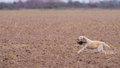 Dog retrieving a Pheasant Royalty Free Stock Photo