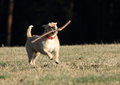 Dog retrieving a stick light running on meadow and wooden Stock Image