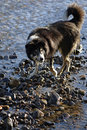 Dog retrieving stick from river border collie shallow Royalty Free Stock Photo