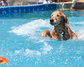 Dog retrieving in water retriever Stock Photo