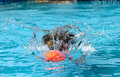 Dog retrieving in water retriever Stock Image