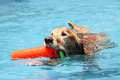 Dog retrieving in water retriever Royalty Free Stock Image