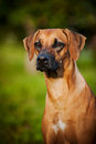 Dog Ridgeback portrait Royalty Free Stock Photo