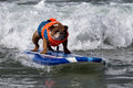 Dog riding waves on surfboard bulldog in orange shirt rides a blue in th annual surfing surf a thon september to raise money for Stock Images