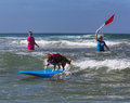 Dog riding waves on surfboard labrador in red shirt rides a blue in th annual surfing surf a thon september to raise money for Stock Photography