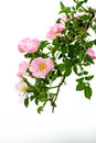 Dog rose beautiful blooming wild bush Royalty Free Stock Image