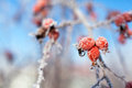 Dog rose berries with icicles and snow, in winter Royalty Free Stock Photo